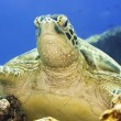 Turtle — Stock Photo #1593834