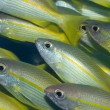 Yellow-fins Goat-fishes — Stock Photo #1593984