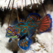 Tropical fish Mandarinfish — Stock Photo #1594167