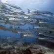 Royalty-Free Stock Photo: School of barracudas underwate