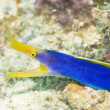Ribbon Moray — Stock Photo