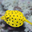Black-spotted boxfish — Stock Photo