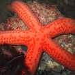 Red starfish — Stock Photo #1594539