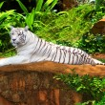 White tiger — Stock Photo #1595876