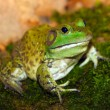 Royalty-Free Stock Photo: American bullfrog