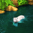 White tiger - Photo