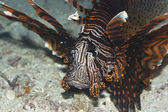 Tropical fish Lionfish — Stock Photo