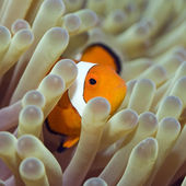 Tropical fish Clownfish — Stock Photo