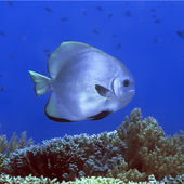 Tropical fish Bat-fish — Stock Photo