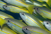 Yellow-fins Goat-fishes — Stock Photo