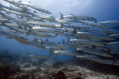 School of barracudas underwate — Stock Photo