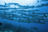 School of barracudas underwater — Stock Photo