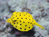 Black-spotted boxfish — Stock Photo