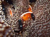 Anemone and Clownfishes. — Stock Photo