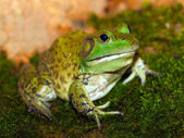 American bullfrog — Stock Photo