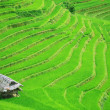 Rice field terraces — 图库照片