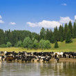 Herd of cows — Stock Photo #1772992