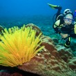 Diver and feather star — Stock Photo
