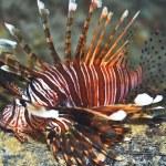 Lionfish — Stock Photo #1837985