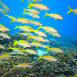 School of Yellowfin goatfish — Stock Photo