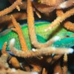 Sleeping parrotfish — Stock Photo #1838289