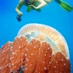 Snorkeling with jellyfish — Stock Photo