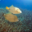 Halfmoon triggerfishes — Stock Photo