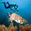 Diver and cuttlefish — Stock Photo