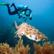 Diver and cuttlefish - Stock Photo