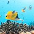 Yellow Longnose Butterflyfish — Stock Photo #1842277