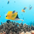 Yellow Longnose Butterflyfish - Stock Photo