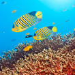 Royal angelfishes - Stock Photo