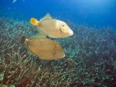 Halfmoon triggerfishes — Stock Photo