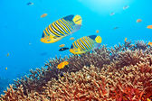 Royal angelfishes — Stock Photo