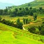 Rice field terraces — Stock Photo