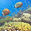 Red-tailed Butterflyfishes - Stock Photo