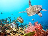 Butterflyfishes и черепаха — Стоковое фото