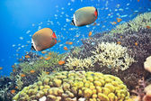 Red-tailed Butterflyfishes — Stock Photo