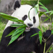 giant panda — Stock Photo #2556124