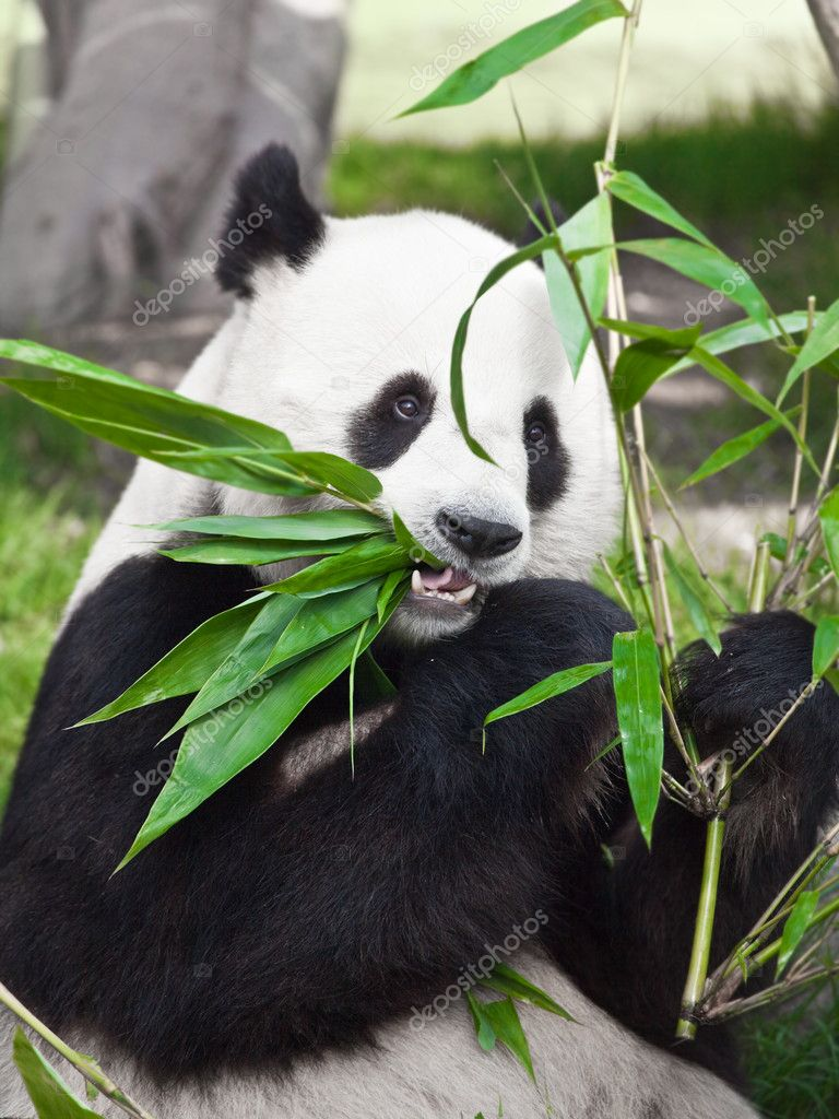 Giant panda is eating green bamboo leaf — Стоковая фотография #2556124