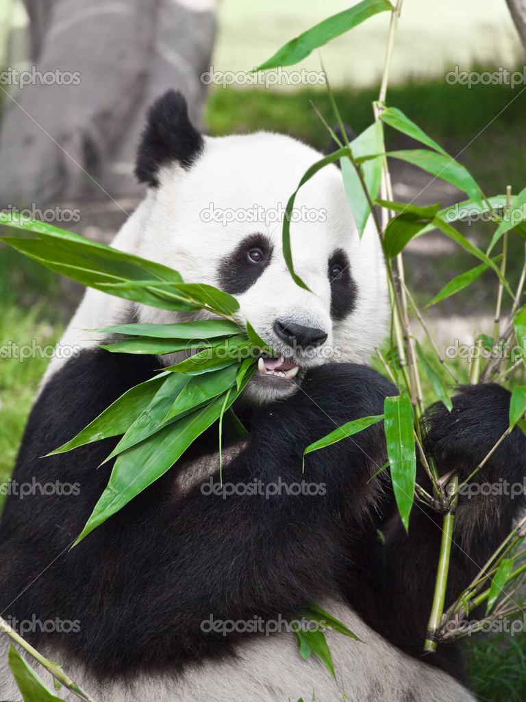 Giant panda is eating green bamboo leaf   #2556124