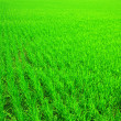 Rice field — Stock Photo #2575583
