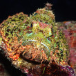 Scorpionfish — Stock Photo