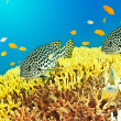 Underwater landscape with couple of Sweetlips — Stock Photo #2604631