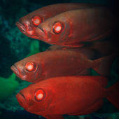 Cardinalfishes — Stock Photo