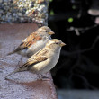 Sparrows — Stock Photo #1715545