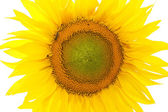 Isolated clouseup image of sunflover — Stock Photo