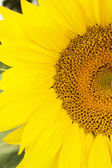 Clouseup image of sunflovers stamens — Stock Photo