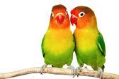 Muhabbet kuşları çifti — Stok fotoğraf