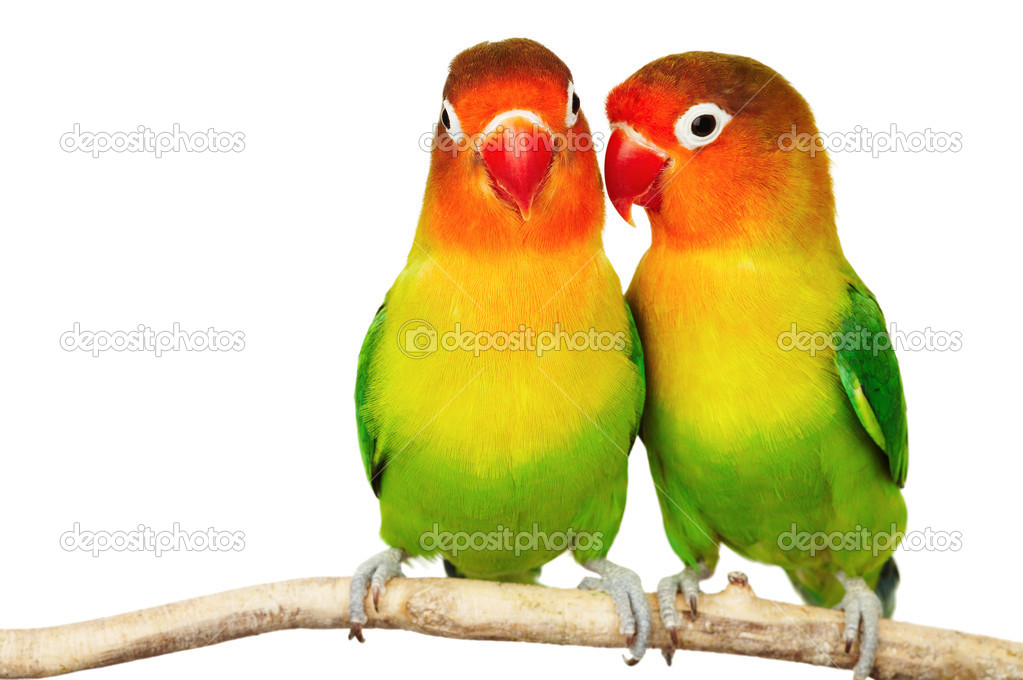 Pair of lovebirds agapornis-fischeri isolated on white — Zdjęcie stockowe #1582055